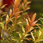 Rotala rotundifolia - SONGROW (koszyk)