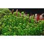 Rotala sp. bonsai (Ammania bonsai) - RATAJ (koszyk)