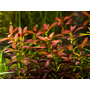 Rotala sunset (Ammania Sulawesi) - RA koszyk duży XXL - RARYTAS