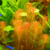 Rotala wallichii - in-vitro Aqua-Art