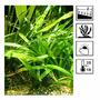 Sagittaria platyphylla - RATAJ (koszyk)