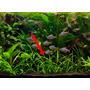 Sagittaria subulata (in-vitro) puszka 5cm (18)