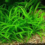 Sagittaria subulata - in-vitro Aqua-Art