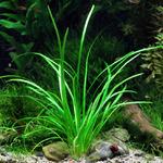 Sagittaria subulata var. pusilla (in-vitro) puszka 10cm XXL