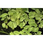 Salvinia auriculata (in-vitro) puszka 7cm TROPICA