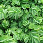Salvinia natans (roślina pływająca) - PLANTACJA invitro