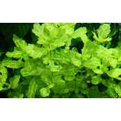 Shinnersia rivularis Weiss-Grun - TROPICA (koszyk)