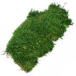Silent Forest Moss - mech żywy płaski (5g / 10x7cm)