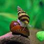 Ślimak Anentome Helena (1 szt) - zjadający inne ślimaki