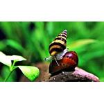 Ślimak Anentome Helena - zjadający inne ślimaki