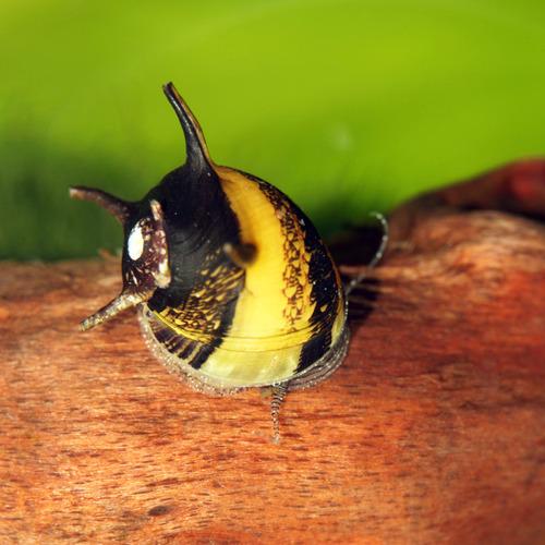 Ślimak rogaty - Clithon corona - na krasnorosty