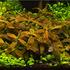 Staurogyne brown - RA koszyk duży XXL