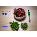 Staurogyne repens (in-vitro) puszka 10cm XXL