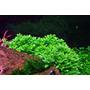 Staurogyne repens Porto Vehlo (in-vitro) puszka 5cm