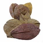 Tantora Catappa Leaves Medium M  [10 szt] - średnie liście ketapangu
