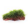 Taxiphyllum barbieri (Java Moss) - TROPICA (na lawie)
