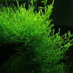 Taxiphyllum barbieri (Java Moss) - TROPICA (wanienka/porcja)