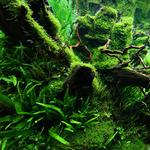 Taxiphyllum barbieri (Java Moss) - TROPICA in-vitro (w żelu)