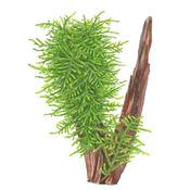 Taxiphyllum Spiky - TROPICA in-vitro (w żelu)