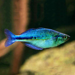 Tęczanka niebieska - Melanotaenia lacustris (1 szt)