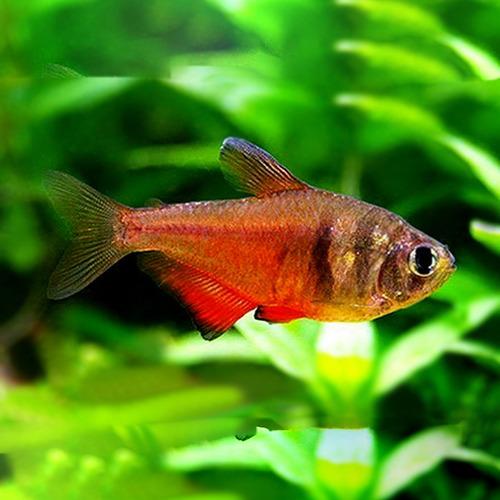 Tetra czerwona - Hyphessobrycon flammeus