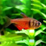 Tetra czerwona - Hyphessobrycon flammeus (1 szt) - odbiór osobisty