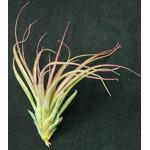 Thilandsia Brachecaulos multiflora - roślina do akwapaludarium