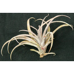 Thilandsia Capitata Peach - roślina do akwapaludarium