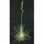 Thilandsia Fuchsii f. gracilis - roślina do akwapaludarium