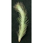 Thilandsia Funckiana - roślina do akwapaludarium