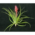 Thilandsia geminiflora - roślina do akwapaludarium