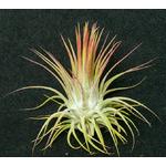 Thilandsia Ionantha var. Ionantha - roślina do akwapaludarium