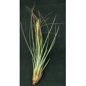 Thilandsia Juncea - roślina do akwapaludarium