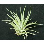 Thilandsia Plagiotropica - roślina do akwapaludarium