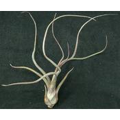 Thilandsia Pseudobaileyi - roślina do akwapaludarium