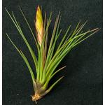 Thilandsia Tricolor - roślina do akwapaludarium