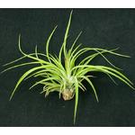 Thilandsia Velutina - roślina do akwapaludarium