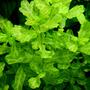 Trichocoronis rivularis (liść dębu) - RA koszyk XXL