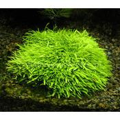 Utricularia graminifolia (in-vitro) puszka 10cm XXL