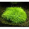 Utricularia graminifolia TROPICA in-vitro (w �elu)