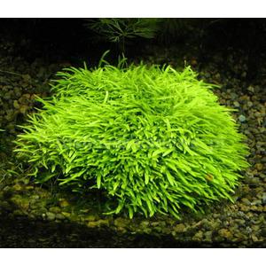 Utricularia graminifolia TROPICA in-vitro (w żelu)