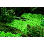 Utricularia graminifolia - TROPICA invitro 12GROW