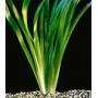 Vallisneria gigantea - PLANTACJA (koszyk)