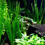 Vallisneria green americana - RA koszyk XXL