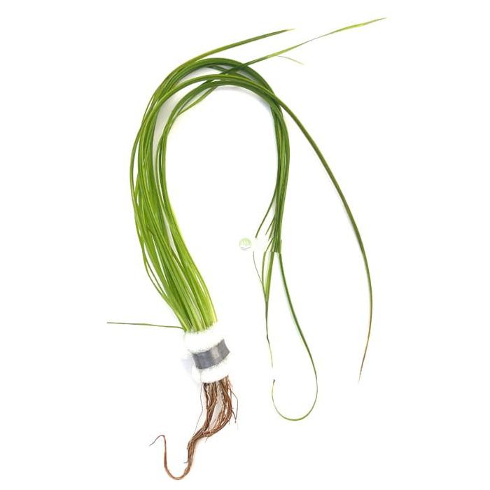 Vallisneria natans - PLANTACJA  (koszyk).