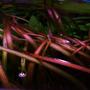 Vallisneria neotropicalis - RATAJ (koszyk)