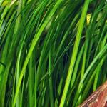 Vallisneria serpentina Tiger - RA (koszyk)