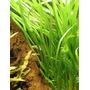 Vallisneria spiralis - PLANTACJA (koszyk)