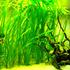 Vallisneria spiralis - RA koszyk XXL