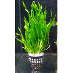 Vallisneria tortifolia - RA koszyk duży XXL